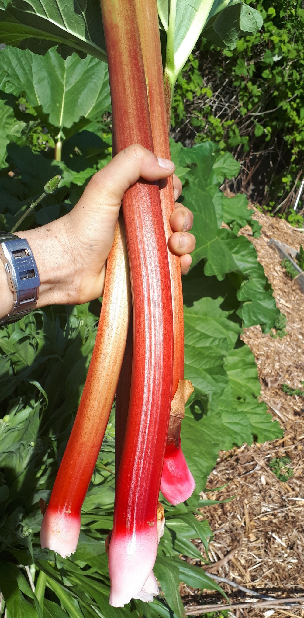 Maple Meadows Brewing - fresh local rhubarb for fresh local craft beer